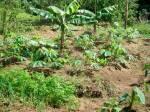 No processo agroecológico, diferentes culturas são cultivadas num mesmo espaço.