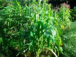 Começa o florescimento do milho.