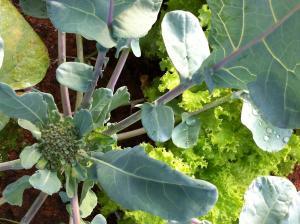 brocólis e alface
